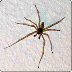 Spiders Commonly Found In Houses   Susan Masta   Portland State University