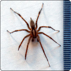 Spiders Commonly Found in Gardens and Yards , Susan Masta