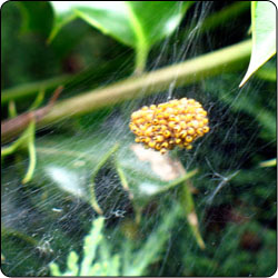 Spiders Commonly Found in Gardens and Yards - Susan Masta - Portland