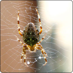 Spiders Commonly Found In Gardens And Yards Susan Masta Portland