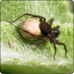 Spiders Commonly Found in Gardens and Yards - Susan Masta