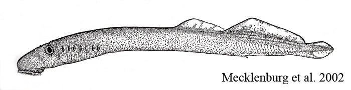 Pacific Lamprey Photos